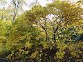 Morris Arboretum Aesculus parviflora.JPG