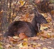Moschus moschiferus, Siberian musk deer