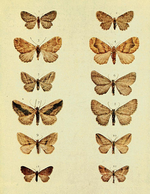 Moths of the British Isles Series2 Plate102.jpg