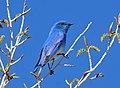 Mountain Bluebird Seedskadee NWR (17313179032).jpg