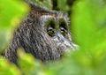 Mountain Gorilla, Bwindi, Uganda (15394005371).jpg