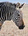 Mountain Zebra (Equus zebra) portrait ... (51579745907).jpg