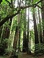 Muir Woods National Monument - panoramio.jpg