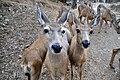 Mule Deer (Odocoileus hemionus) skinny.jpg