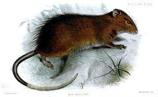 Maclears rat species of mammal