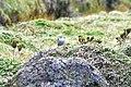 Muscisaxicola alpinus alpinus in Paramo Ground-tyrant, Ecuador.jpeg