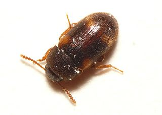 <i>Mycetophagus</i> genus of insects
