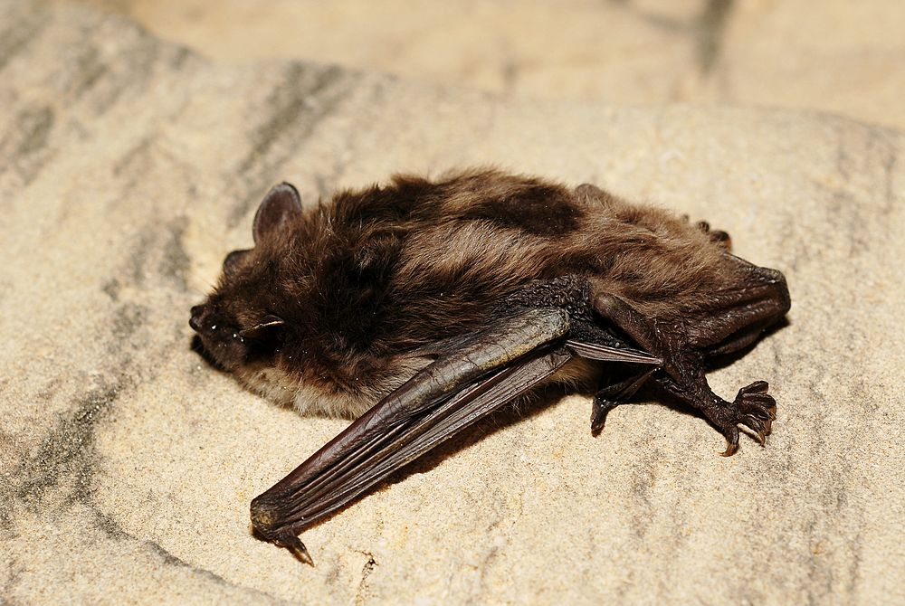The average litter size of a Pond bat is 1