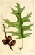 NAS-025f Quercus coccinea.png