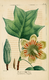 NAS-061 Liriodendron tulipifera.png