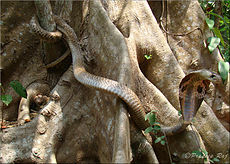 Naja naja (Indian cobra).jpg