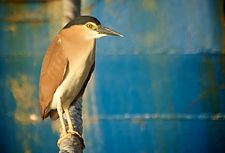 Nankeen Night Heron Fremantle Harbour.jpg