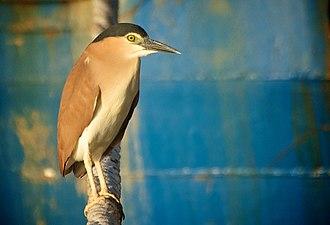 Night heron - Image: Nankeen Night Heron Fremantle Harbour