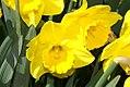 Narcissus Camelot 1zz.jpg