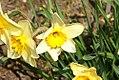 Narcissus Fortunes Pride 0zz.jpg