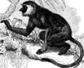 Nasenaffe semnopithecus-nasalis Ausschnitt.png