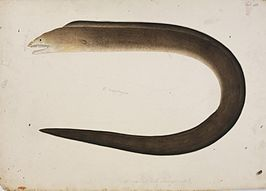 Naturalis Biodiversity Center - RMNH.ART.40 - Gymnothorax hepaticus (Rüppell) - Kawahara Keiga - 1823 - 1829 - Siebold Collection - pencil drawing - water colour.jpeg