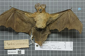 Javan slit-faced bat - Image: Naturalis Biodiversity Center RMNH.MAM.35299 ven Nycteris javanica javanica skin