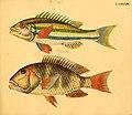 Naturgeschichte in Bildern mit erläuterndem Text (Taf. XCIII) (6058673939).jpg