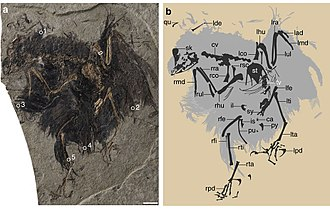 Enantiornithes - Image: Ncomms 14141 f 1