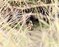 Nelson's Sparrow, McCool's Pond, Indiana, September 29, 2012 (8039549251).jpg
