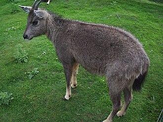 Goral - Chinese goral, Nemorhaedus griseus
