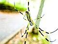 Nephila clavata subadult.jpg