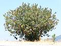 Nerium oleander Zakkum 1380395 Nevit.jpg