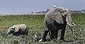 New 6750 Amboseli elephant JF.jpg