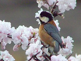 New Friend Varied Tit.jpg