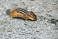 New Hampshire-00737B - Chipmunk (15120062788).jpg