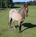 New forrest pony june 2013.JPG