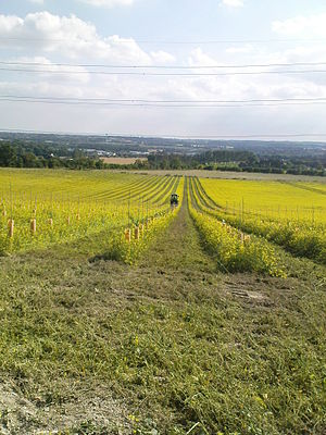vineyard plantation in UK