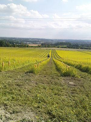 vineyard plantation in UK