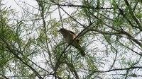 File:Nightingale video (19343828625).webm