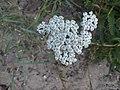 Noordwijk - Duizendblad (Achillea millefolium) v2.jpg