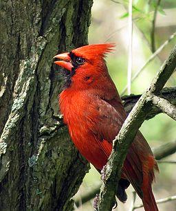 Northern Cardinal (17103105617)