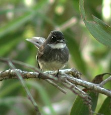 Northern Fantail julatten jun02.JPG