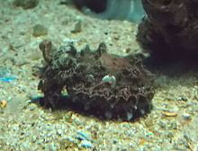 Northern Flamboyant Cuttlefish (Metasepia tullbergi) - GRB.JPG
