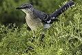 Northern Mockingbird (16481040784).jpg