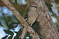 Northern Mockingbird (Mimus polyglottos) (8591587979).jpg