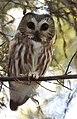 Northern Saw-whet Owl (31929441795).jpg