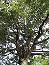 Nsolandri2367tree.jpg