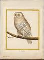 Nyctea nivea - - Print - Iconographia Zoologica - Special Collections University of Amsterdam - UBA01 IZ18400015.tif