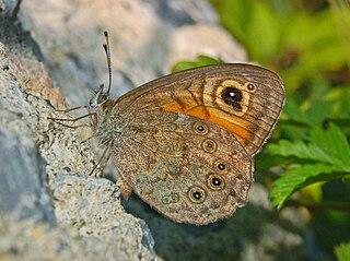 <i>Lasiommata maera</i> species of insect