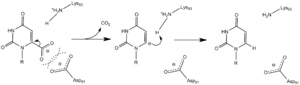 Orotidine 5'-phosphate decarboxylase - Image: OMPDC Carbanion Mechanism