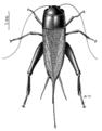 ORTH Gryllidae Teleogryllus commodus.png