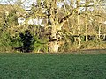 Oak Tree in Cox's Meadow - geograph.org.uk - 831059.jpg