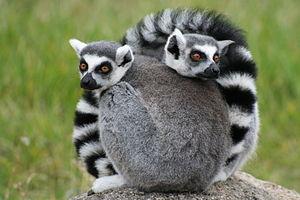 Oakland Zoo - Image: Oakland Zoo Lemurs