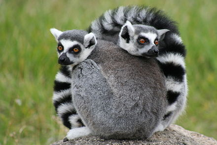 The ring-tailed lemur is one of over 100 known species and subspecies of lemur found only in Madagascar. OaklandZooLemurs.jpg